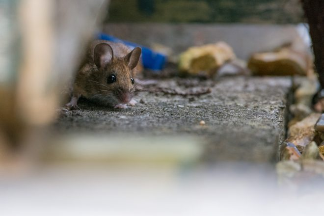 House Mouse in garden