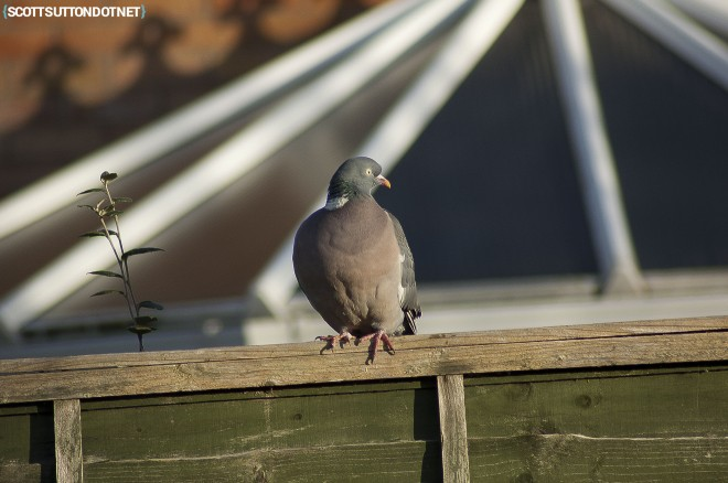 Pigeon sitting on a fence